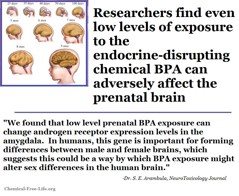 Prenatal Bpa Exposure Linked To Anxiety >> Low Levels Of Bpa Adversely Affects The Prenatal Brain Study